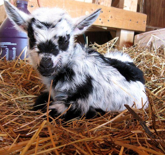 Pygmy Goats In Sweaters pixMatch