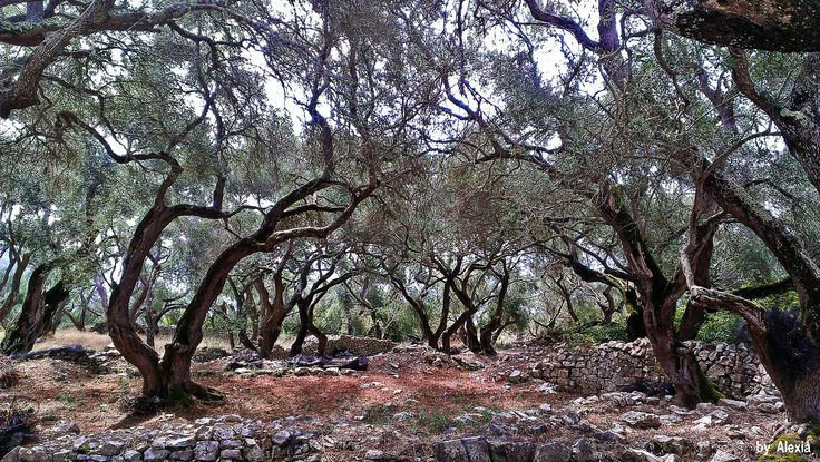 https://flic.kr/p/s59A4E | Olive trees Paxoi Greece | Walking trees....