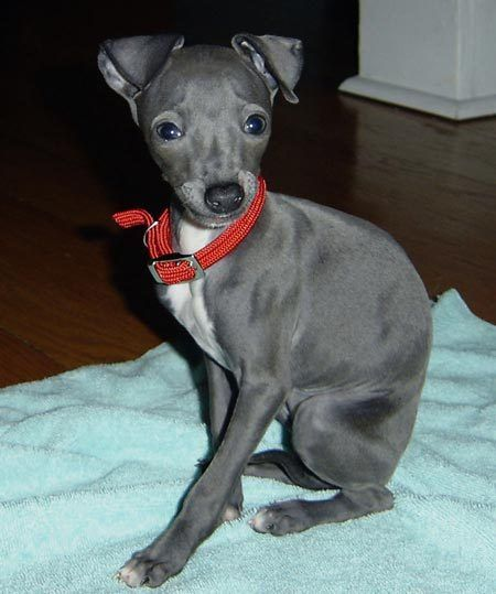 italian greyhounds are so cute... like mini greyhounds. <3