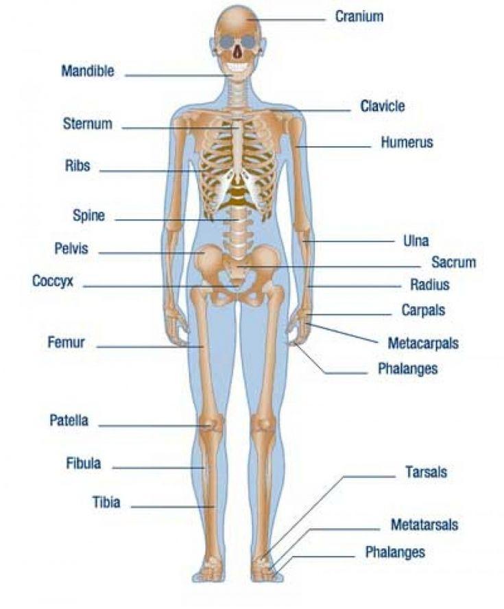 Pin On Human Anatomy Organs