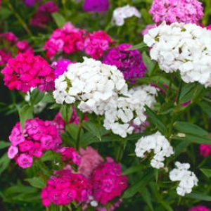 Oeillet du poète ou dianthus barbatus, voici une fleur facile d'entretien qui fleurit abondamment. Du semis à la floraison, voici les conseils de culture et jardinage