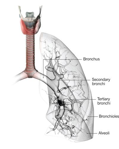 #Lung cancer is categorized by cell type into non-small-cell lung cancer — of which the three main subtypes are #adenocarcinoma, squamous cell carcinoma and large cell carcinoma — and small-cell lung cancer. Treatment and prognosis differ depending on the type of lung cancer.