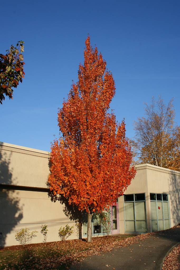 Acer Rubrum Armstrong Scarlet Maple With Images