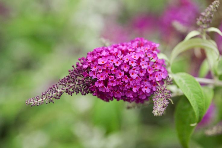 Plant Focus: Buddleja davidii hybrids (butterfly bush) have terminal racemes of small, highly fragrant flowers in an array of colours from white to pink, lavender and purple. The showy blooms attract many butterflies and other insects to the garden. The shrubs, which can grow in excess of 2 m tall and equally as wide, can become straggly and untidy with age and are best pruned down to knee-height in early spring.