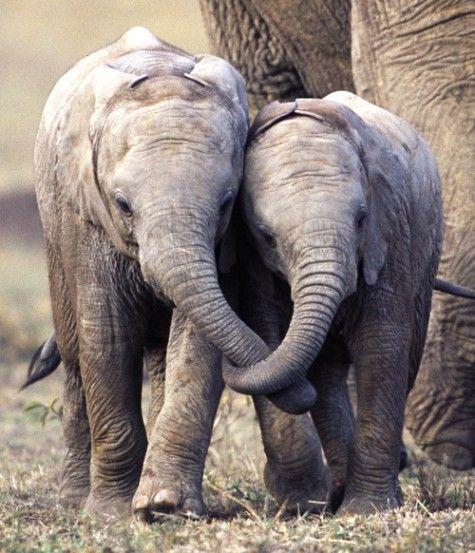 """+2 bebés elefantes jugando y caminado tomados ¡de la trompa! (iba a escribir """"de la mano"""")"""