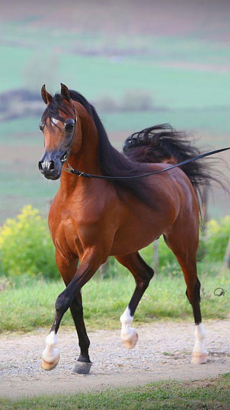 638 best arabian horse images on pinterest arabian horses horses and pretty horses - Arabian horse pictures ...