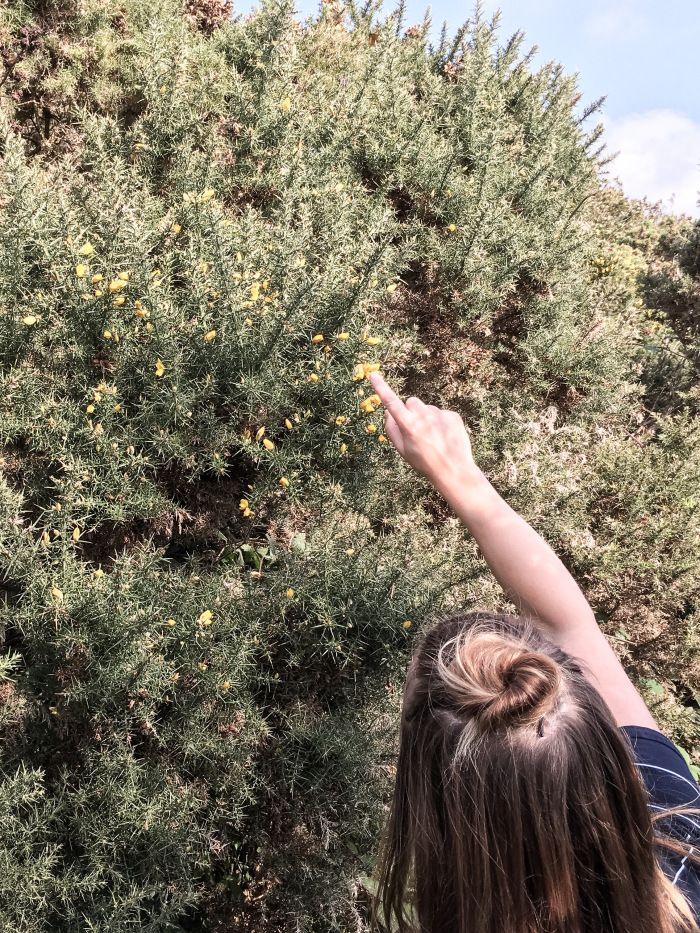 Wild yellow Gorse flower by the Cornwall sea in autumn
