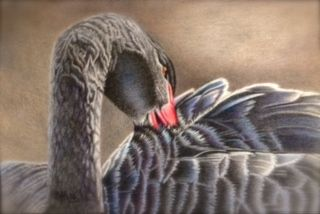 Black Swan drawn in colored pencils, 6x8 inches.