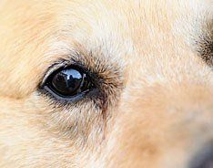 Pet Eye Infection Treatments at PetMeds