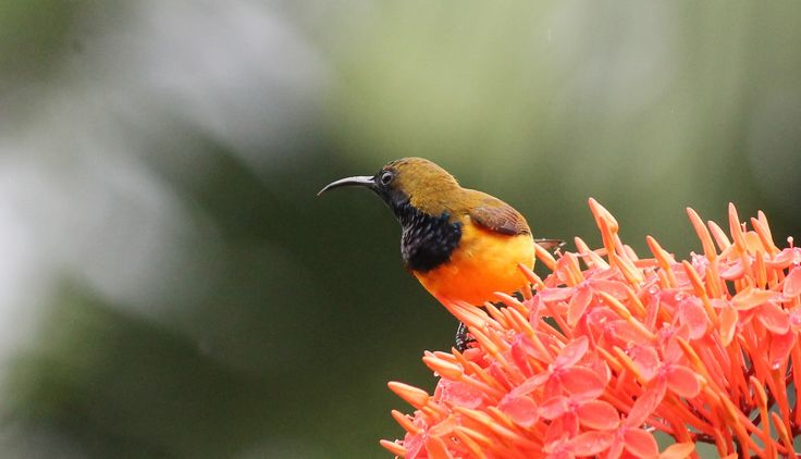 This is a wonderful adult male Olive Backed Sunbird (Cinnyris jugularis). He is only about 12cm long and loves to feed on nectar from these Ixora flowers. Commonly seen in gardens around rice paddy fields.