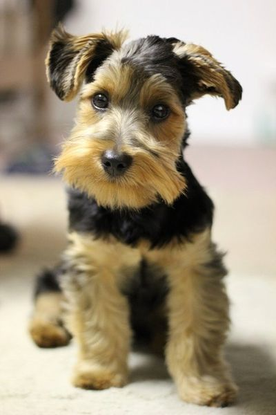 This dog is soo adorable. He is a schnauzer mix yorkie. I do not own him... Just love him