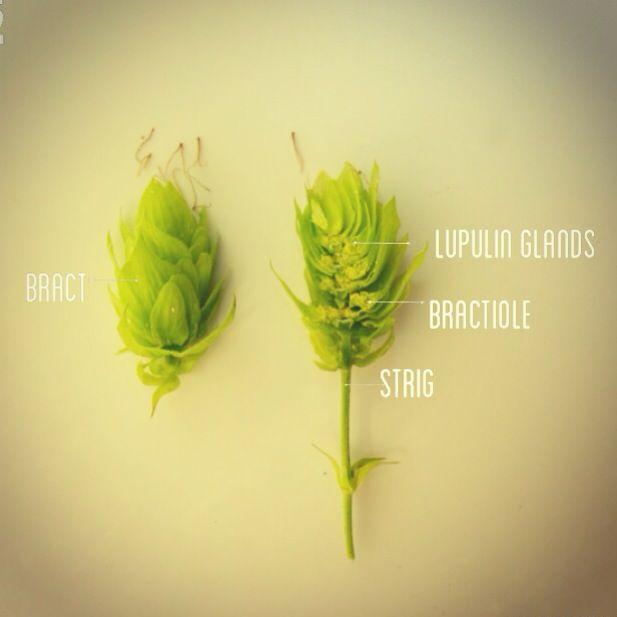 Anatomy of hops. #DeschutesBrewery