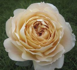 Caramel Antike is a vanilla color, lighter towards the edges and darker in the center. A romantic wedding rose, Caramel  has a large bulbous shape with a heavy petal count that opens round and has a slight fragrance. Great for vase work.