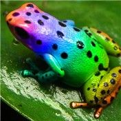 The very rare rainbow frog...