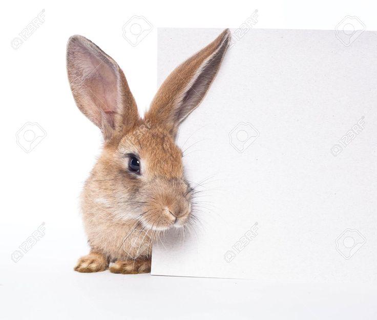 Красный кролик (заяц) и пустая белая доска Фотография, картинки, изображения и…