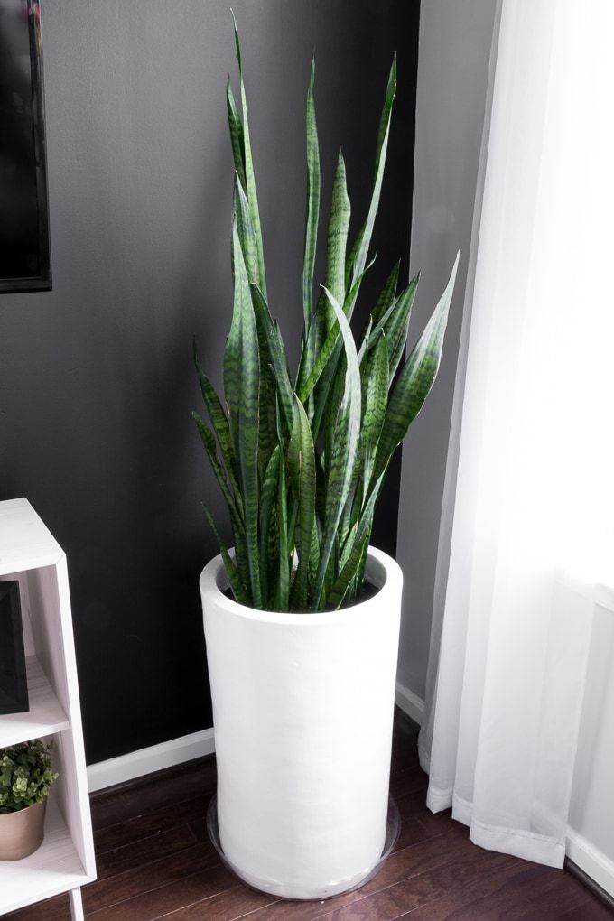 How To Take Care Of A Snake Plant Snake Plant Snake Plant Care