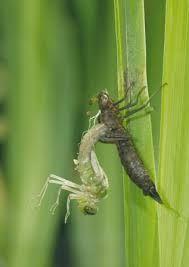 """Résultat de recherche d'images pour """"dragonfly larvae"""""""