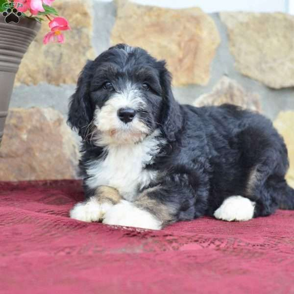 Cali F1b Bernedoodle Puppy For Sale In Ohio Bernedoodle