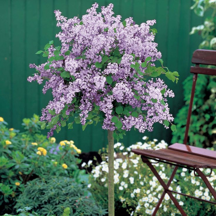 Lilac (Dwarf Standard), Syringa meyeri 'Palibin'. Grows in a pot. Flowers May and June. Full sun. Fragrant.