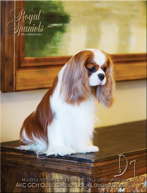 quail garden cavaliers | The Royal Spaniels Magazine about Cavalier King Charles and English ... on the cover - GORGEOUS Cavalier!