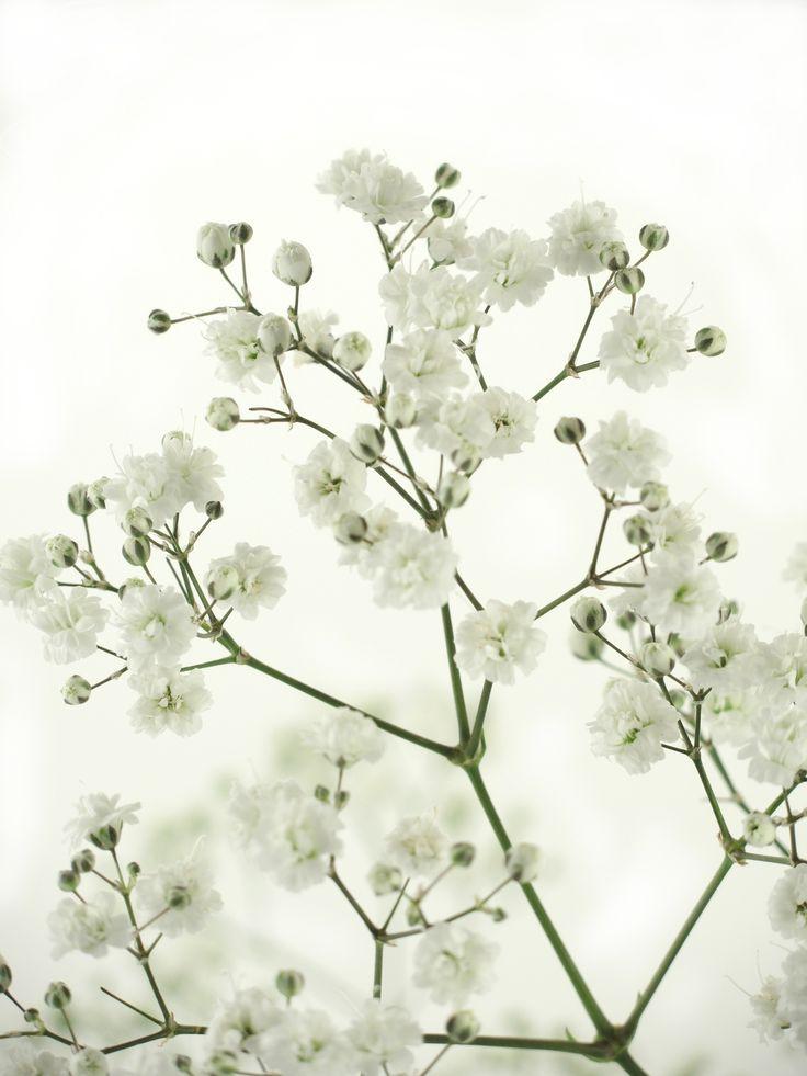 8 besten wei e blumen bilder auf pinterest januar schnittblumen und bl hende pflanzen. Black Bedroom Furniture Sets. Home Design Ideas