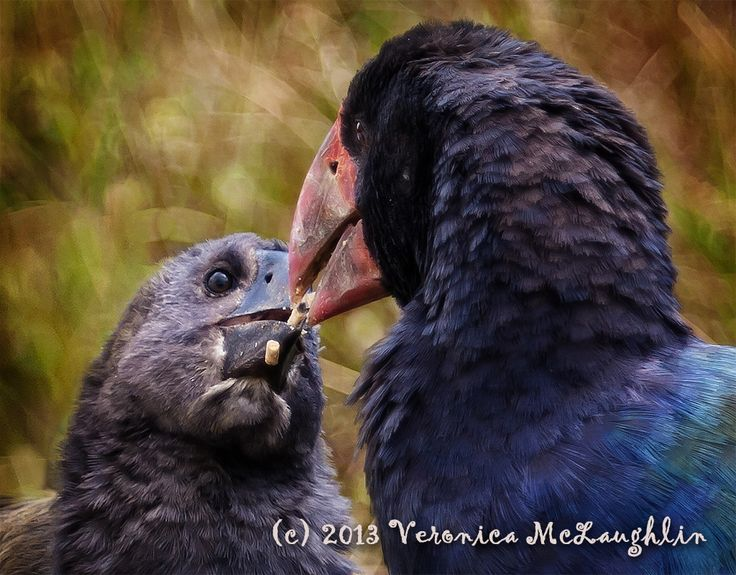 Bringing up Baby - These is a parent and chick takahe, an extremely endangered species. They have been reintroduced to the wild on Tiritiri Matangi Island in Auckland's Hauraki Gulf. This was a touching moment of the chick being fed the supplemental food.