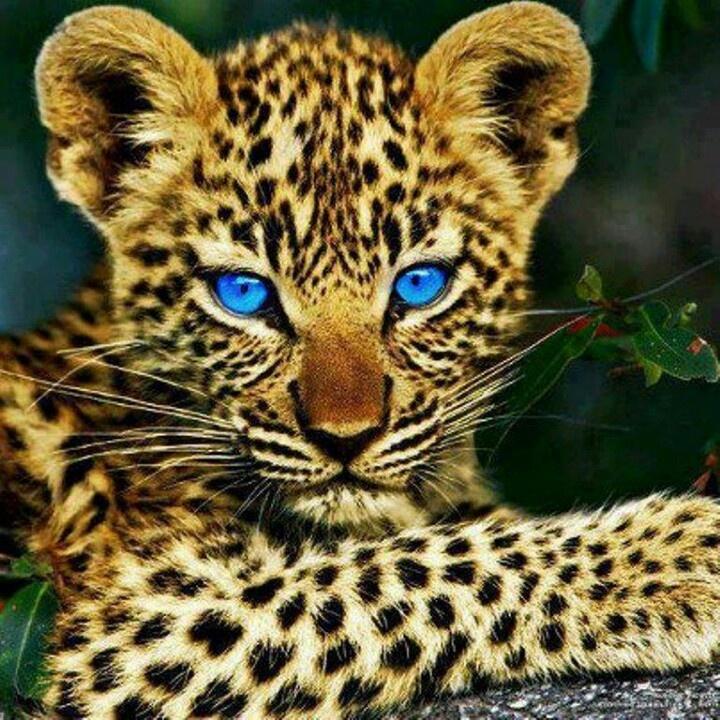 Baby jaguar | Jaguar majestic | Pinterest | Baby Jaguar ...