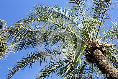 Palm tree, pedestrian perspective. Clear blue sky.
