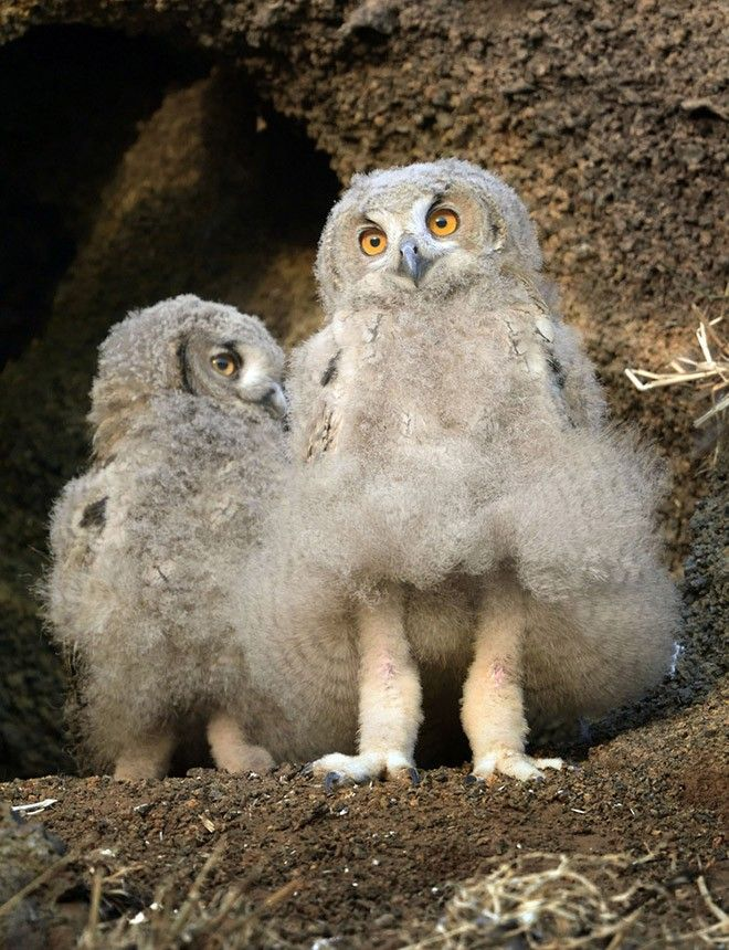 Baby Owls Legs : Fluffy, Owlettes, Funny, Pictures,, Legs,