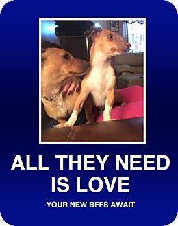 Morrisville, PA Dachshund. Meet Daniel & Sabrina a Dog