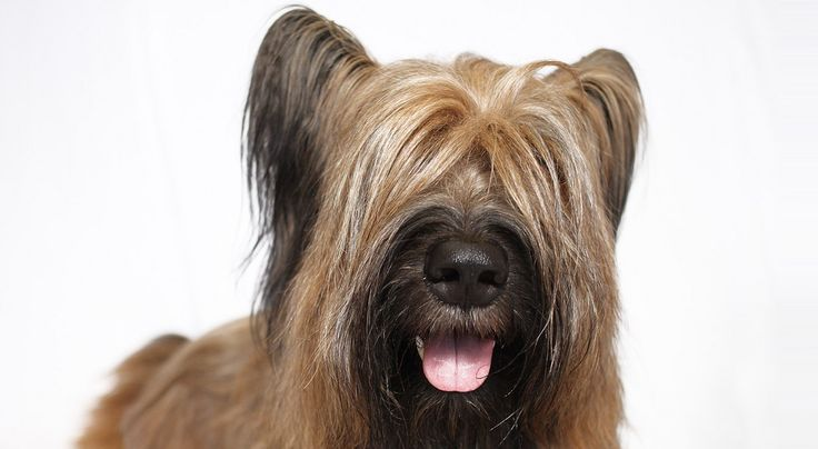 11 best images about Briard on Pinterest | Coats ...