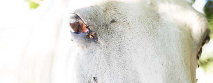 Die ultimativen Tipps gegen die Pferdebiester. Der Sommer könnte so schön sein! Wenn die Pferdebiester nicht wären. Wie du sie erfolgreich loswerden kannst, erkläre ich dir jetzt.