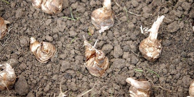Les bulbes d'automne sont autant de promesses de fleurs pour le renouveau printanier. Au moment de planter les bulbes de tulipes, jacinthes,..., voici 5 erreurs classiques à éviter. http://www.jardipartage.fr/planter-des-bulbes-conseils/