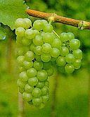 Mayor types of white wines