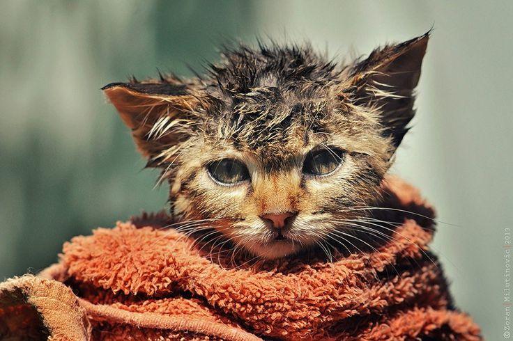 Se você já tentou dar banho em um gato, com certeza ficou com cicatrizes da guerra por alguns dias. Seu bichano vai espernear, arranhar, miar e até uivar se você colocá-lo debaixo d'água. Mas apesa...