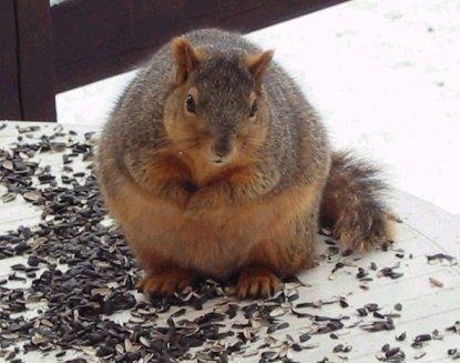 25 Fat Squirrels