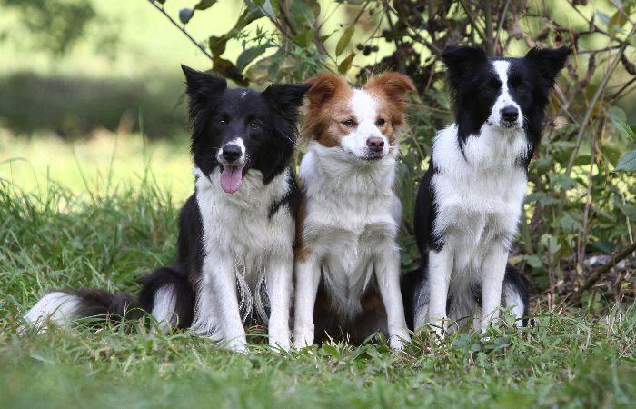 Фотография самой умной породы собак - пастухов - бордер колли.