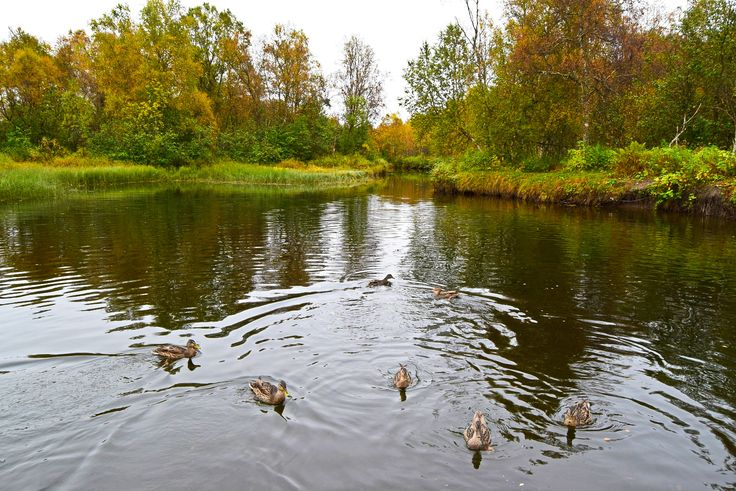 Hungry ducks swimming on the river an autumn day