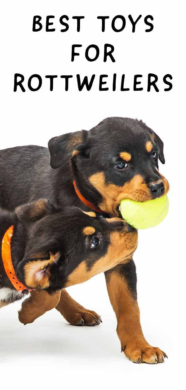 The Best Toys For Rottweilers That Love To Play And Chew Rottweiler Toy Rottweiler Dog Breeds