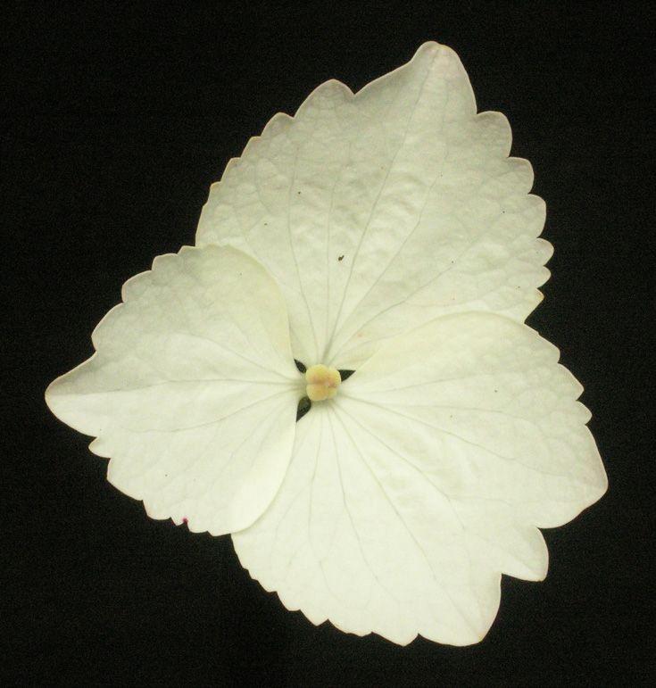 Hydrangea macrophylla 'Tokyo Delight' ray floret.
