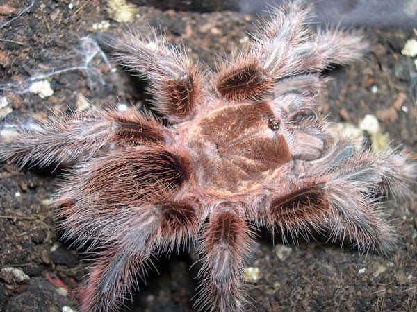 Giant Tarantula spider, Tarantula Pictures, Tarantula Facts, Information, Habitats, News | Most Amazing Things in the World, Incredible, Cool, Unique Things on Earth