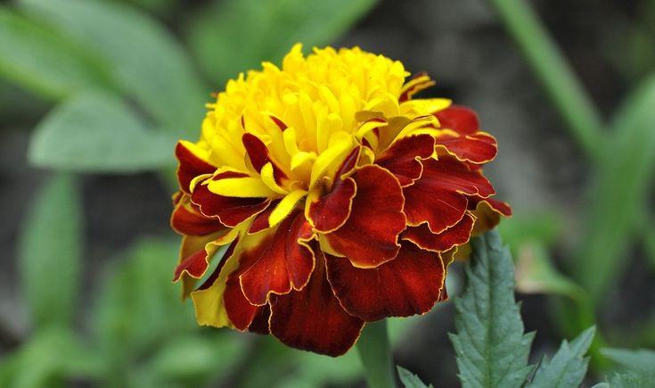 Cravo, Planta, Flor, Vermelho Amarelo, Natureza, Fechar