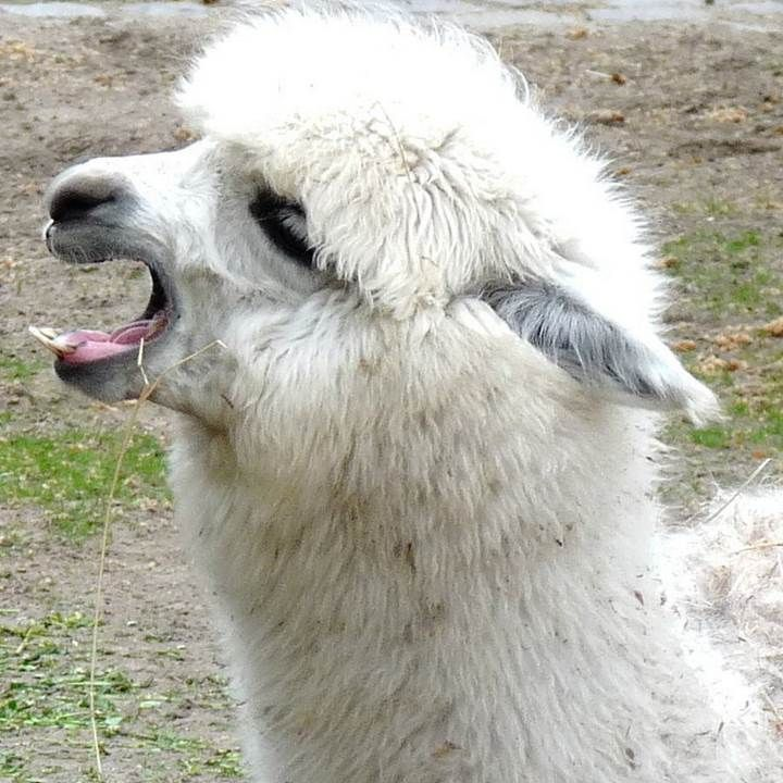 Picture Of A Llama Crying: 131 Best Ideas About Lama'ttitude On Pinterest