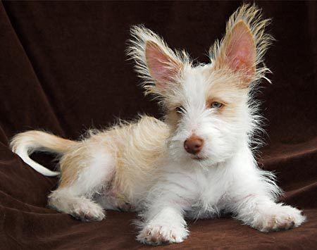 Portuguese Podengo photo | Pico the Portuguese Podengo | Puppies | Daily Puppy