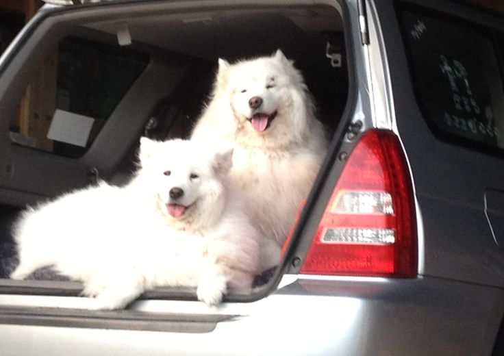 Ladylike #samoyed members Kiesha & hudson