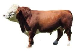 Miniature Hereford Cattle owner experiences, tips, stories, photos, videos. Owners share the good, the bad, and the edible about Miniature Hereford Cattle.