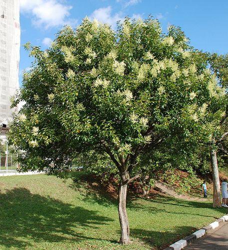 ligustrum tree, along back fence Smells sooo goood!!