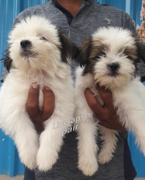 Lhasa Apso Puppies Are Available For Sale In Hyderabad If You Are