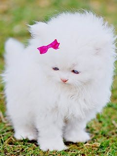 Its said that inherited congenital  deafness is seen exclusivly in white coated cats with blue eyes. I wonder how true this is. This is such an adorable fluffy kitten... I SO  would totally get one for Trini  if it looked like this :)