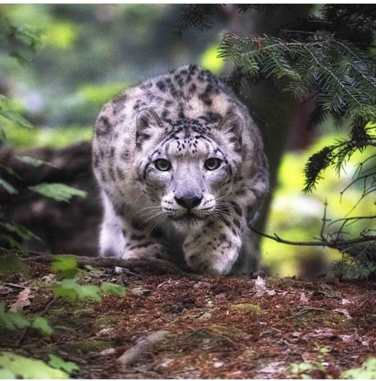 A snow leopard hunting
